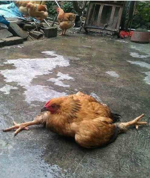 阿鸡正在劈叉