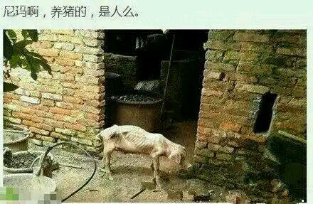 把猪养成这样也是技术